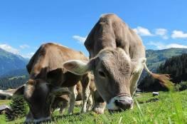 """تطبيق """"تعارف رومانسي"""" يساعد الأبقار في العثور على شريك مناسب"""