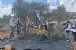 البرغوثي: حملات قطف الزيتون التطوعية عمل وطني ومقاومة شعبية في وجه الاستيطان