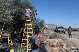 هآرتس: كيف يقيس الإسرائيليون المسافة بين شاطئ تل أبيب وموسم الزيتون في الضفة الغربية؟