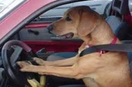 تحت تأثير المخدرات...علم كلبه قيادة السيارة