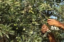الزراعة تعلن موعد بدء قطف الزيتون وتشغيل المعاصر