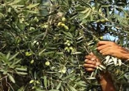 الشرطة تشارك المواطنين في قطف ثمار الزيتون
