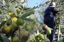 تحديد موعد قطف الزيتون وعصره في محافظات الضفة الغربية