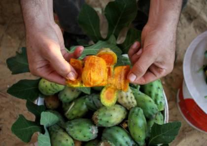 صور : مزارعو غزة يبحثون عن رزقهم في فاكهة الصبر
