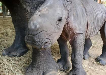 ولادة أنثى لوحيد القرن الأبيض المهدد بخطر الانقراض في حديقة حيوان أمريكية (صور)