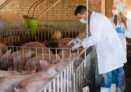 تفشي حمى الخنازير الأفريقية في كوريا الشمالية