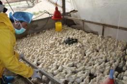 نفوق 1200 صوص دجاج في جنين