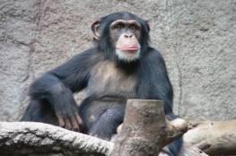 قردة الشمبانزي تتمايل وتصفق مع الموسيقى