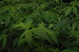 ضبط مشتل للمخدرات شرق بيت لحم