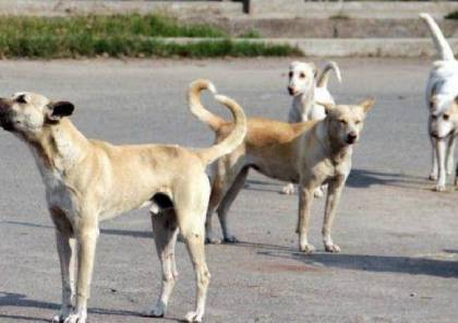 حملة لجمع الكلاب السائبة في شوارع غزة