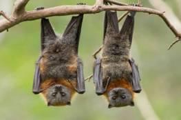 اكتشاف فيروس كورونا جديد مرتبط بـسارس-كوف-2 في 5 خفافيش