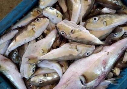 بكر يُحذر المواطنين من شراء سمك الأرنب السامة