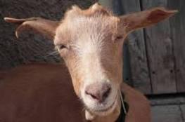 دراسة تكشف مفاجأة: الماعز تفهم لغة البشر!