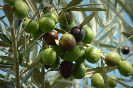 المفتي العام يدعو المزارعين لإخراج زكاة الزيت والزيتون