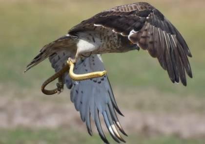 """مركز الباشا يعيد إطلاق زوج من طيور """"عقاب الثعابين"""" الجارحة بعد تأهيلها"""