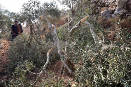مستوطنون يقتلعون 60 شتلة زيتون ويسرقونها في جالود جنوب نابلس
