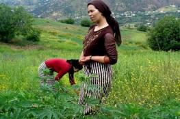 """دولة عربية تتجه نحو السماح بزراعة وإنتاج """"الحشيش"""" !"""