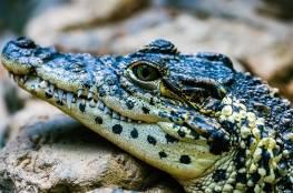 """تمساح برأس متجمد وجسم حي """"خياران أقساهما مر"""" (فيديو)"""