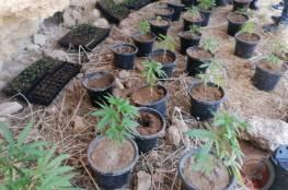الشرطة تضبط مشتلا للمخدرات جنوب الخليل