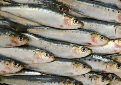 فوائد سمك السردين على صحة الجسم