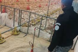 الضابطة الجمركية تضبط 15000 صوص حبش قادم من إسرائيل في محافظة الخليل.