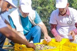"""الإغاثة الزراعية تطلق حملتها التطوعية """"احنا معكم"""" لقطف الزيتون في القطاع"""