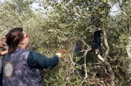 إصابات بالاختناق خلال اعتداء الاحتلال على المشاركين بقطف الزيتون غرب جنين