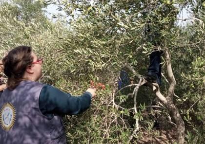 للعام الثالث عشر.. الإغاثة الزراعية تطلق حملة إحنا معكم لمساعدة مزارعي الزيتون