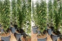 الامن الوقائي يضبط 1000 بذرة من القنب المخدر