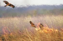 طائر حذّر منه النبي متهم بتأجيج حرائق أستراليا ( شاهد )