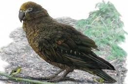 اكتشاف ببغاء كان يعيش في نيوزيلندا منذ 20 مليون عام