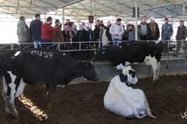 التشريعي يؤيد إعدام الزراعة لأبقار هزيلة في غزة
