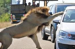 بالفيديو.. أسد يهاجم السياح بعد أن صدته لبؤة