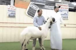 الكويت.. بيع خروف مقابل 200 ألف دولار!!