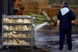 فرنسا:اعدام 400 ألف بطة بسبب تفشي فيروس انفلوزا الطيرور بسرعة خيالية
