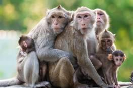 هروب جماعي لقرود من حديقة يابانية يرعب المزارعين
