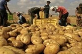 متى تكون البطاطا خطرة على الصحة؟