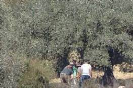 مستوطنون يسرقون ثمار الزيتون في يانون جنوب نابلس