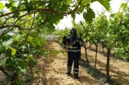 الاغاثة الزراعية تنفذ حملة لمكافحة آفات وأمراض العنب في غزة