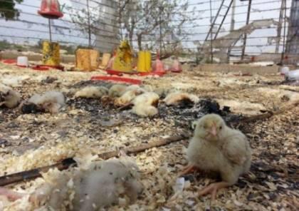 نفوق 12 ألف طير إثر حريق داخل مزرعة لتربية الطيور في عجة