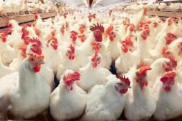 أسعار الدجاج والحبش اليوم في أسواق غزة