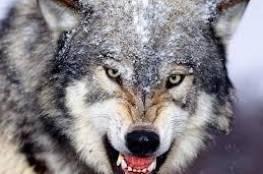 """سعودي يرهب عروسته الجديدة بـ""""ذئب مفترس"""" ويخرج من قسم الشرطة بكفالة!!"""