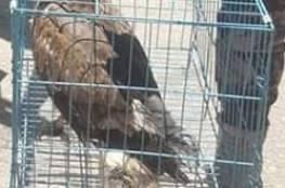 """طائر """"صقر الثعابين"""" في قبضة سلطة البيئة بعد ضبطه في نابلس"""