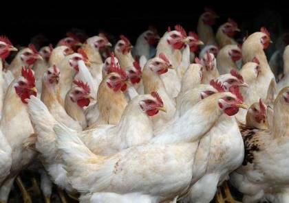 الزراعة بغزة توضح بشأن مرض انفلونزا الطيور في القطاع