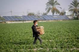 الزراعة: منع الاحتلال التصدير يكبّد مزارعي غزة خسائر فادحة