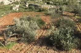 مستوطنون يقتلعون 13 شجرة زيتون غرب سلفيت