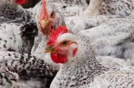 غزة: التحفظ على مزرعتين للدجاج اللاحم