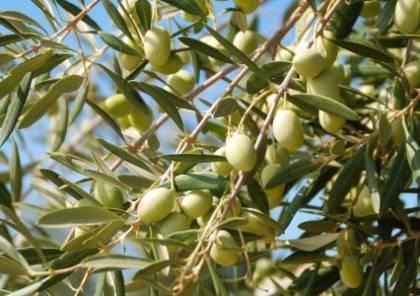 الخليل: زراعة أشجار زيتون في أراض مهددة بالمصادرة في بني نعيم