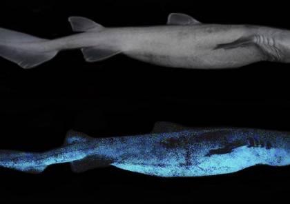 اكتشاف أكبر سمكة قرش مضيئة