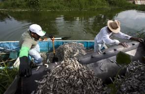 الهلاك الجماعي للسمك في ولاية هاليسكو المكسيكية
